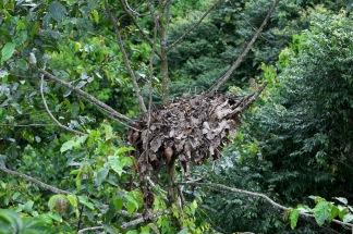 Orangutan nest - they build a new one every night