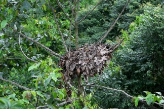 Orangutan nest - they build a new one every night