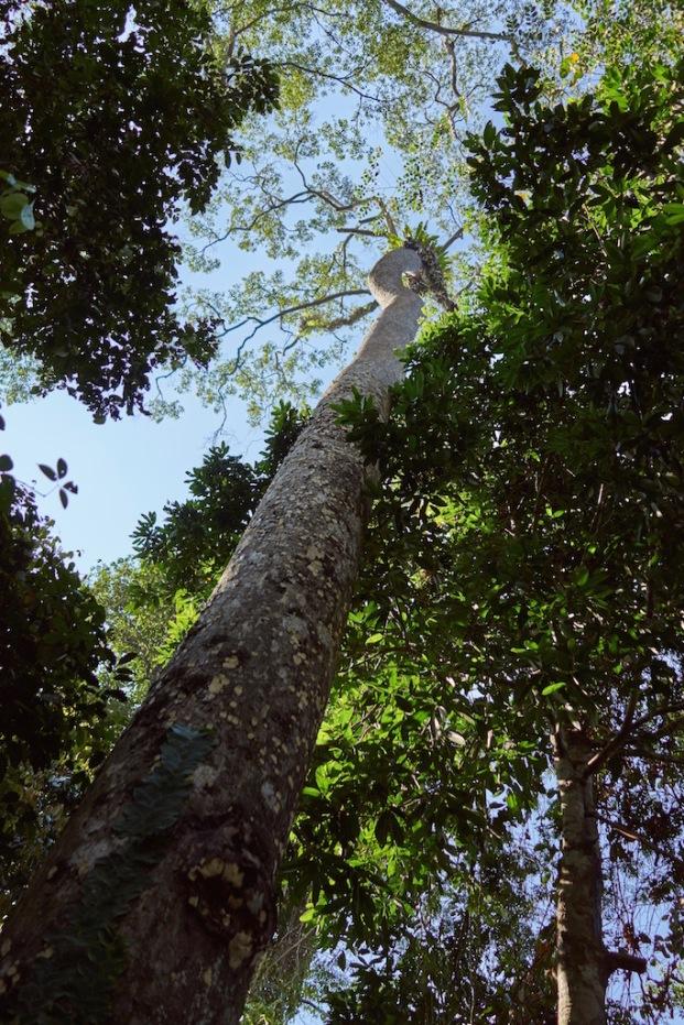 very tall tree