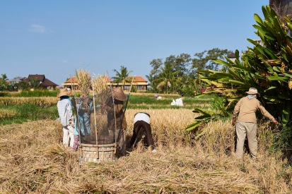 Harvesting rice - stage 1