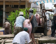 Pigs being unloaded